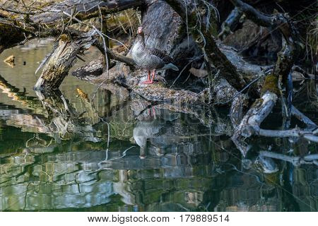 A greylag goose in untouched nature.  greylag goose. Wildlife
