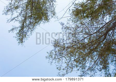 Looking up at bamboo leaves growing off trees against a clear sky