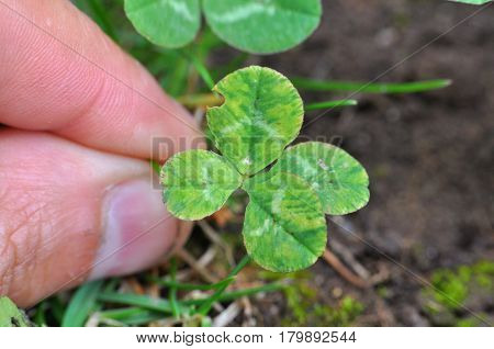 Four-leaf clover grows in nature. Lucky finding. Men hand pick up four-leaf clover