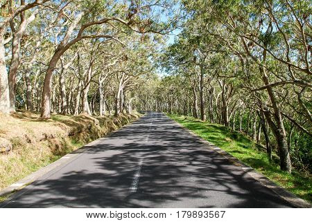Long Road Lined Trees At La Reunion Island, France