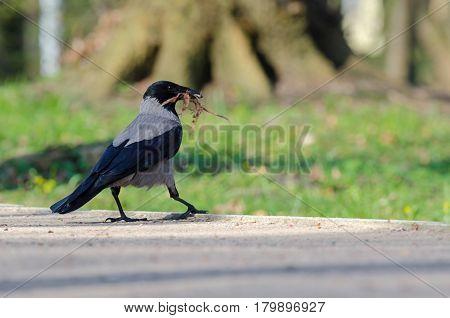 DUN CROW ON A WALK - Bird spring in a city park