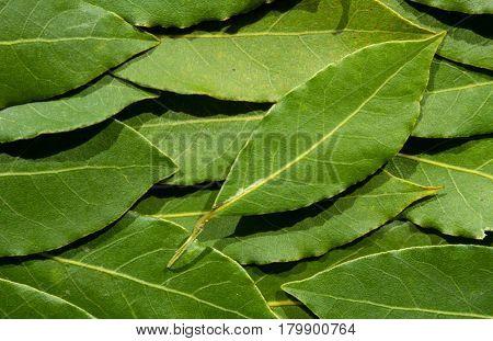 Background from green bay tree leaves laurel / laurus nobilis top view