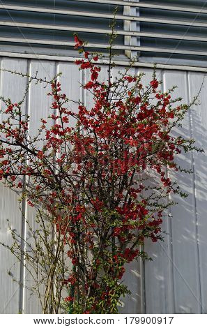 Japanese quince or Chaenomeles speciosa tree - blossoming in springtime.