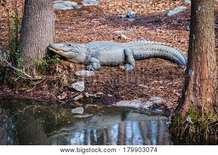 An alligator by the pond near the trees