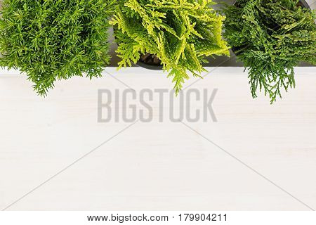 Soft workplace with green young conifer plants top view with copy space on beige wood board background.