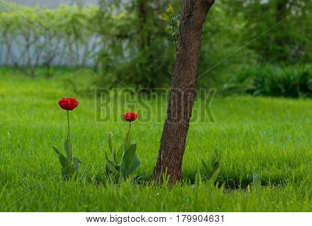 Red tulips growing at garden at Moscow center