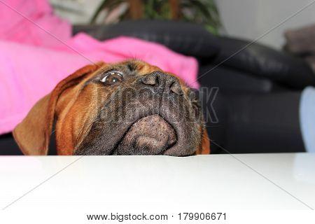 Dogue De Bordeaux Puppy With Black Mask