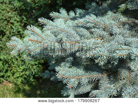 Blue spruce branches as a textured background. Blue spruce green spruce white spruce Colorado spruce or Colorado blue spruce.