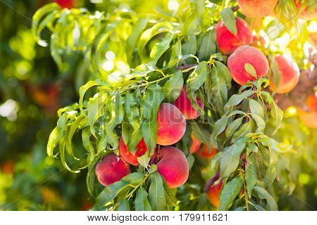 Fresh Ripe Peach On Tree In Summer Orchard