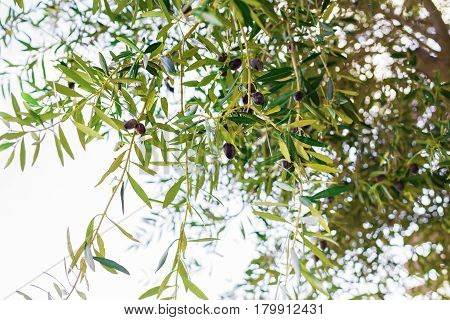 Branch of olive tree with fruits and leaves, natural agricultural food.
