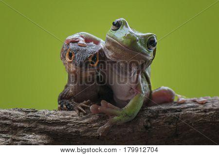 Friendship between croc and green tree frog