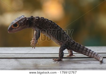 Stand Up croc skink with bokeh light