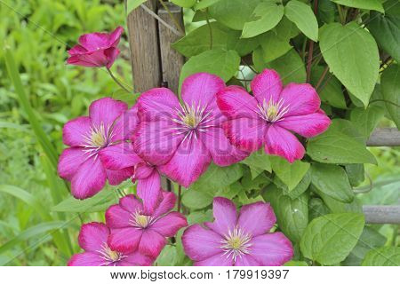 A close up of the flowers clematis.