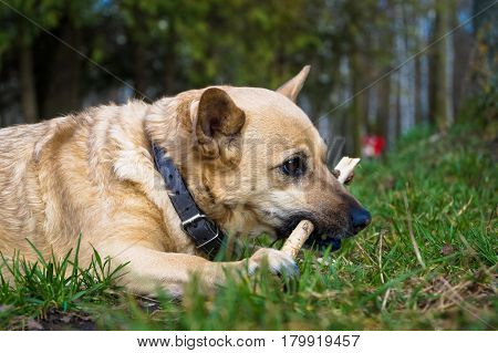 little dog plays and chews a stick