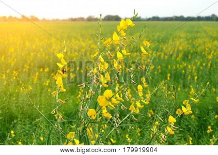 Pictures of beautiful yellow flowers alternating with green grass.
