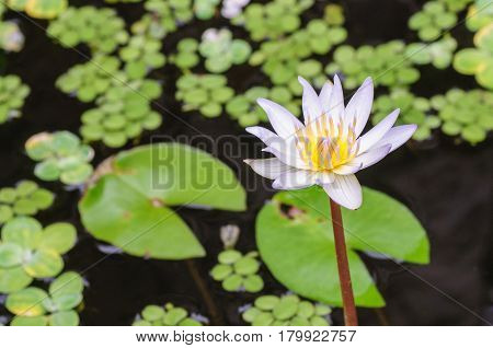 Pond with white waterlily and green leaves