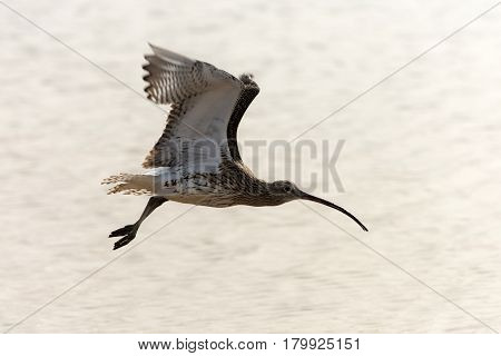 Cute bird wild shorebird with grey feathers wings and long beak flying on sunny day on blurred sea background. Wildlife and nature. Flora and fauna