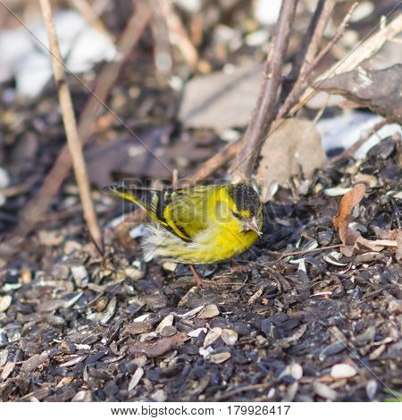 Male of Eurasian Siskin Carduelis spinus on dirty ground close-up portrait selective focus shallow DOF.
