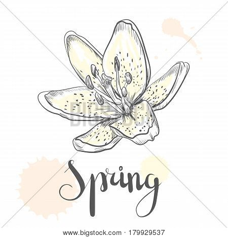 Hand drawn vector pen and ink illustration of Lily flower in Vintage style isolated on white background.