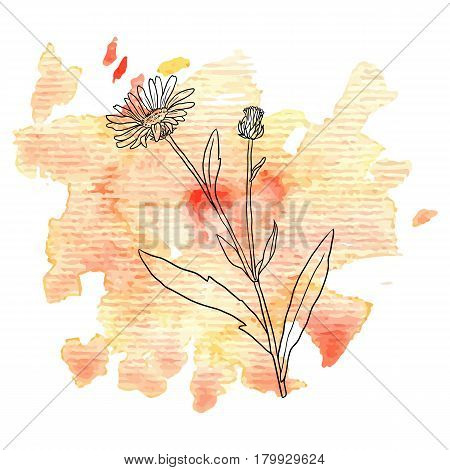 vector flower of calendula at watercolor background, hand drawn medical herb, line drawing plant, isolated floral element