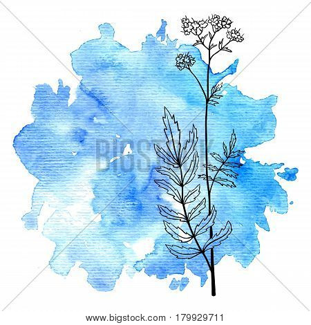 vector flower of valerian at blue watercolor background, hand drawn medical herb, line drawing plant, isolated floral element