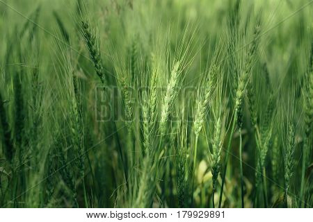 Wheat field with green spikelets. Macro photo of green ears of wheat. Rural landscape of a wheat field.