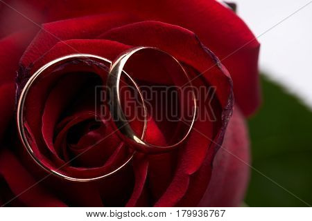 Closeup of a beautiful romantic red Rose with two wedding gold rings isolated on white background. Love and marriage proposal concept.