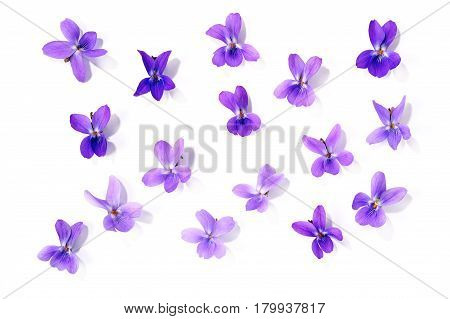 fresh viola blossoms isolated over white background