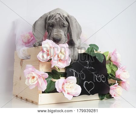 Gray Great Dane purebred puppy with flowers and message for wedding day