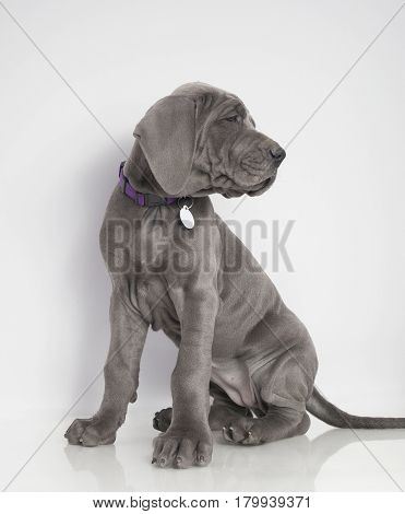 Purebred Gray Great Dane puppy that is sitting on a white background