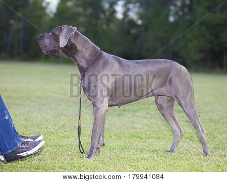 Purebred blue Great Dane next to its handicapped owner