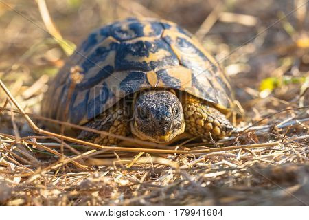 Hermann's Tortoise Are Small To Medium-sized Tortoises From Southern Europe