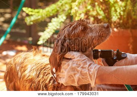Washing Brown Spaniel Dog Pet
