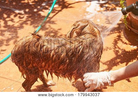 Washing Brown Spaniel Dog