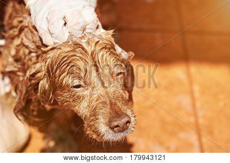 Wet Brown Spaniel Dog