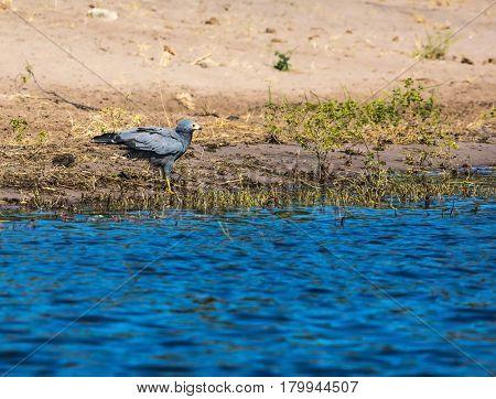 Botswana, Chobe National Park.A bird is grazing in the shallow waters of the Zambezi River