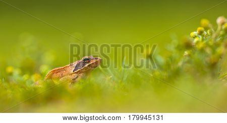 Panorama Of Agile Frog (rana Dalmatina) In Grass