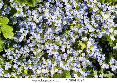 Background of many violet Forget-me-not flowers in spring