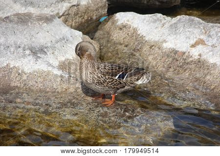 A female Mallard sits on rock preening her feathers