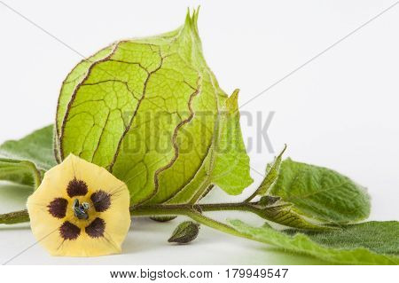Cape gooseberry flower and calyx  (Physalis peruviana) on white background