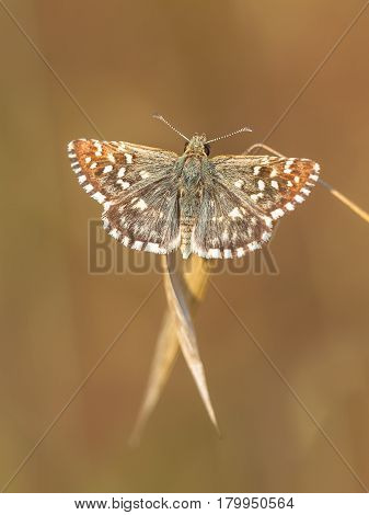 Butterfly (pyrgus Malvae) On Grass Spike With Neutral Brown Background