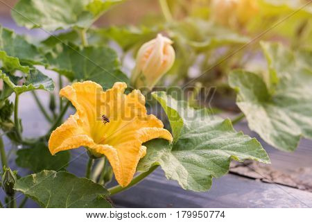 Close up yellow flower of pumpkin with bee growing in field plant.