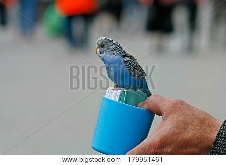 A budgerigar fortune-teller sits on a blue plastic cup with cards which then read to reveal your future.