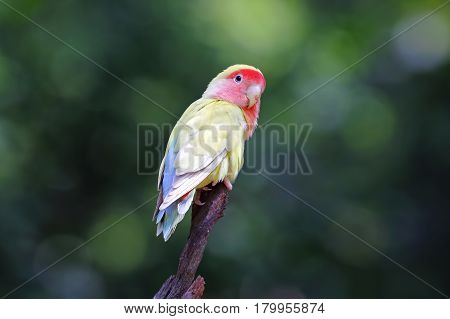 Peach-faced lovebird Rosy-faced Agapornis roseicollis Very Cute Birds