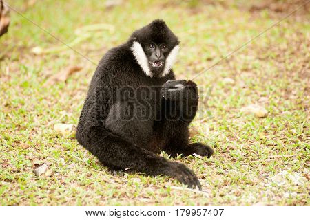 Beautiful male White-cheeked gibbon (Nomascus leucogenys) sitting on ground.