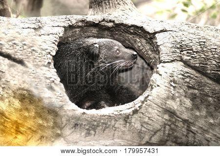 Close up for rare and amusing animal - binturong.