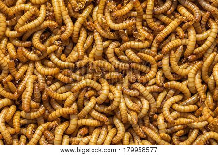 Mealworm Background