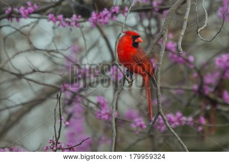 A male cardinal poses in a redbud tree with bokeh background