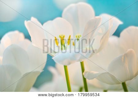 White tulips in a spring sunny greenhouse
