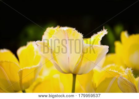 Yellow tulips in a spring sunny greenhouse